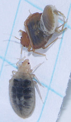 large adult bed bugs